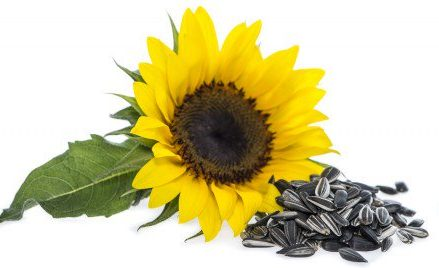 Are Sunflower Seeds Really Healthy?